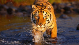 71-Tiger-at-Ranthambore-NATIONAL-PARK-440x294