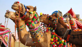 CAMEL-FESTIVAL-OF-RAJASTHAN-440x251