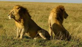 Lions-at-Gir-Gujarat