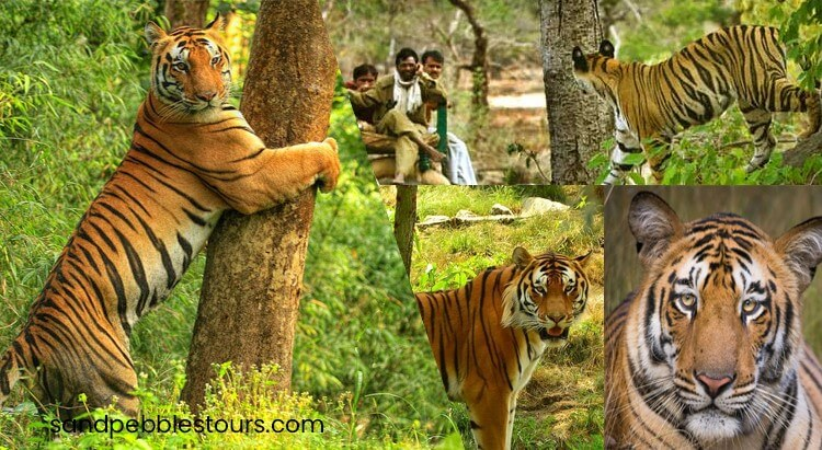 MP Tiger Safari Tour